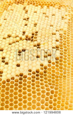 Capped and open drone honey bee cells on frame filled with pupa and larva.