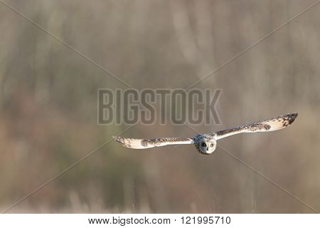 Wild Short eared owl in flight heading straight forward (Asio flammeus)