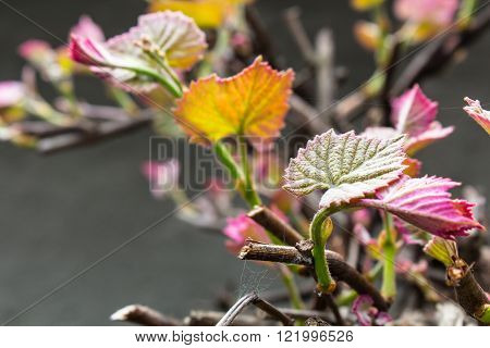 Pink and green leaves sprout on brown vine branch