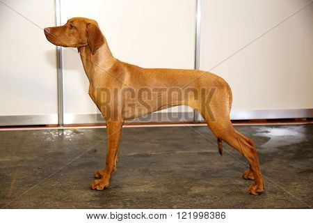 Purebred hungarian vizsla canine against white wall background