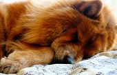 A Chow Chow Dog Sleeping poster