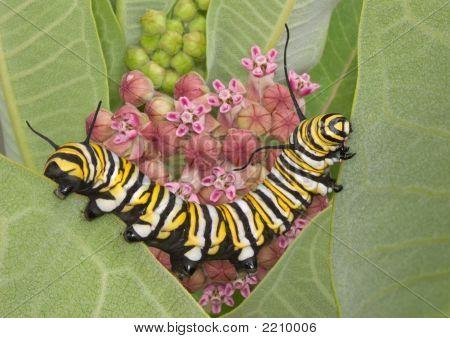 Monarch Cat On Milkweed