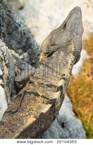 top of the lizard
