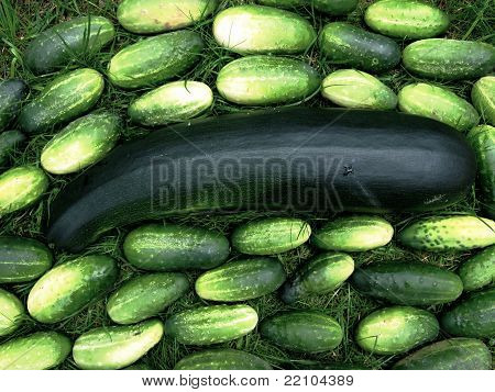 huge zucchini with lots of cucumbers
