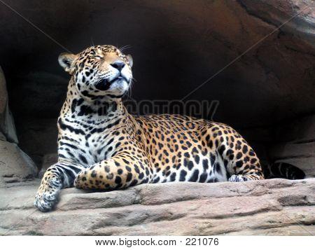 Smiling Jaguar
