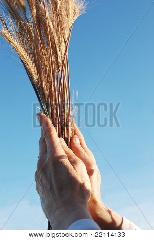 Holding a golden wheat