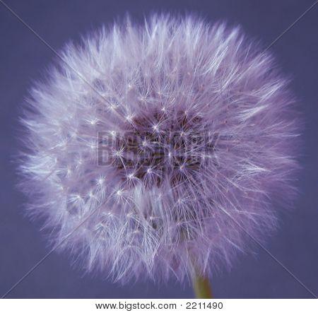 Dandelion Purple
