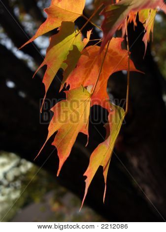 Sugar Maple Leaves In Autumn, Brightly Back-Lit