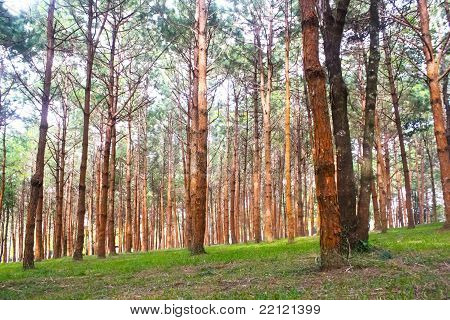 pine tree are line