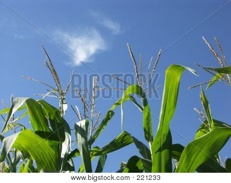 Corn Stalks In Blue Sky