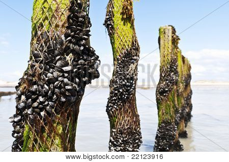 mussel farm in the france sea