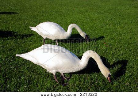 A Pair Of Swans Feeding