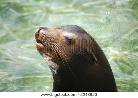 Sea Lion - 1