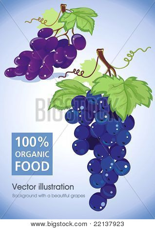 Blue grapes cluster with green leaves isolated on white - vector illustration.