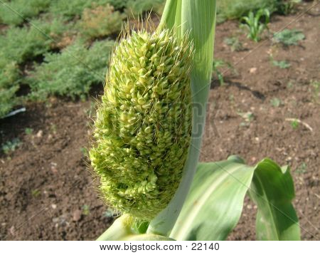 Macro Of A Sorghum (Jowar) Crop, India