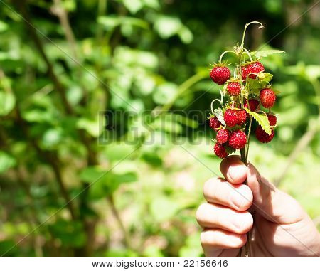 Wild strawberries in a child's hand