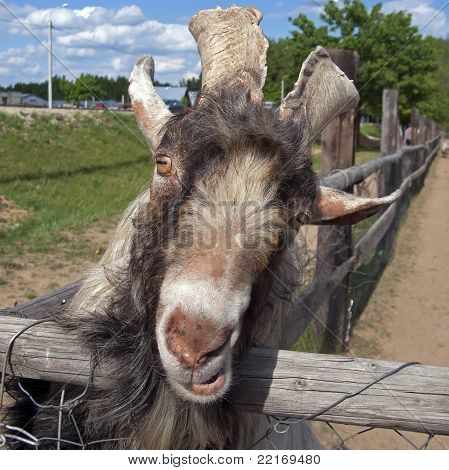 Hummel goat