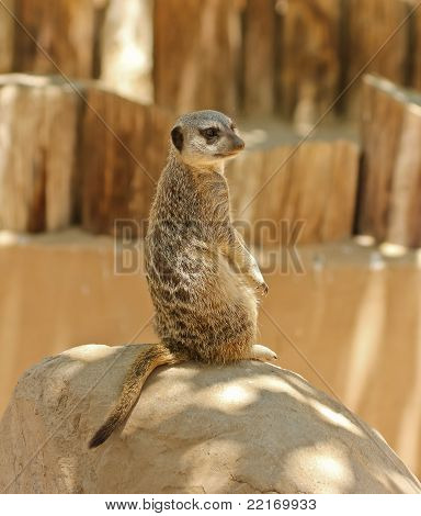 A Meerkat Sentry Sits On A Rock