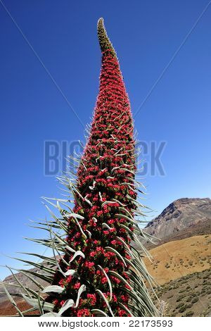 Echium Wildpretii In Tenerife, Canary Islands.
