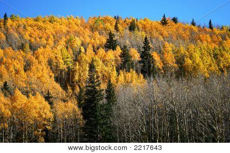 Aspen Fir And Pine