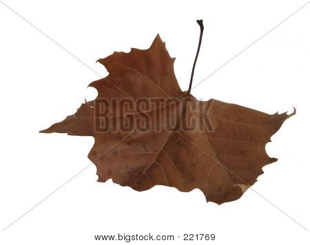 Dried Mapel Leaf