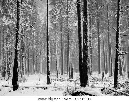 Aspen Trees With Snow