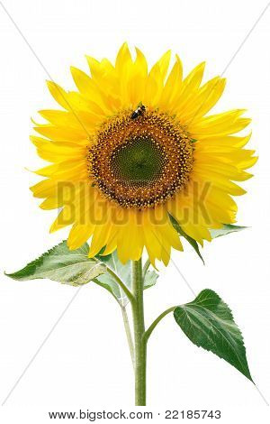 Sunflower And Insect.