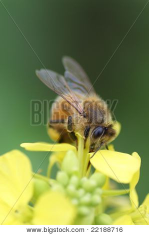 Up close photo of a Bee