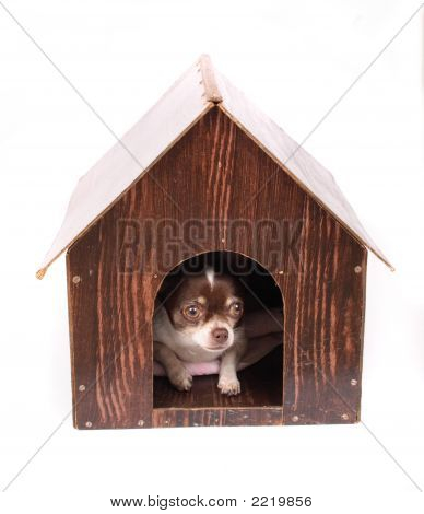 Chihuahua At Home
