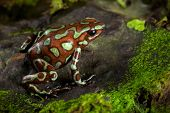 picture of poison arrow frog  - golden poison frog - JPG