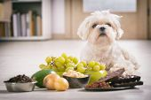 Little white maltese dog and food ingredients toxic to him poster