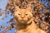 Handsome ginger tabby against winter sky and dry leaves, looking straight at the viewer poster