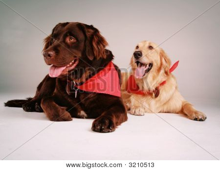 Retriever Dogs
