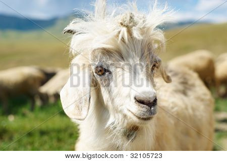Young Goat Close Up