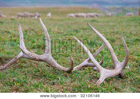 Horns Of A Deer