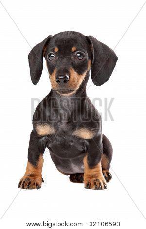 Dachshund, Teckel cachorro