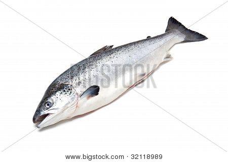 Atlantic Salmon on a white background.