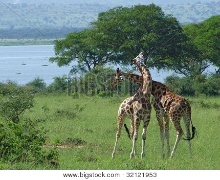Giraffes At Fight In Africa