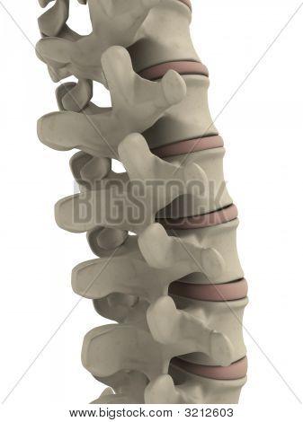 Human Spine