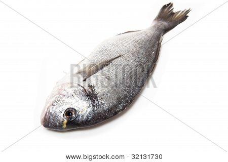 Gilt-head (sea) bream (Sparus aurata) fish