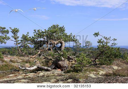 Twisted pine, Pinus sylvestris on poor soil.