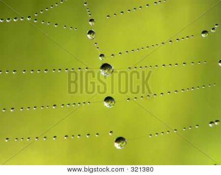 Water Cobweb