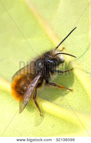 small wild bee on a green leaf / Hymenoptera sp.
