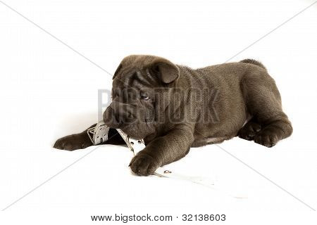 shar pei   puppy playing with a collar