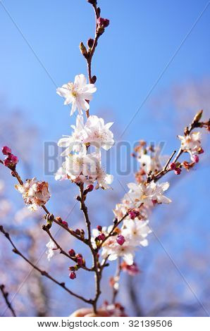 close up shot of blooming cherry tree branches