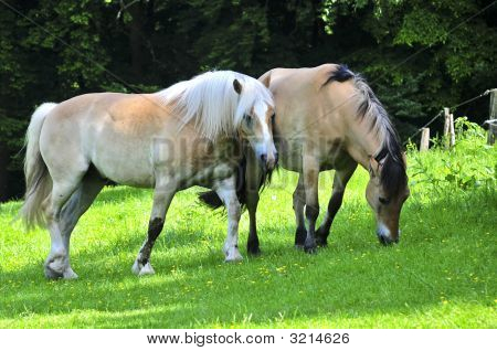 Two Haflinger