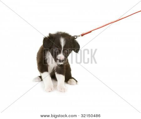 Border collie puppy first time on a leash