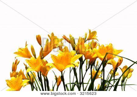 Yellow Daylilys