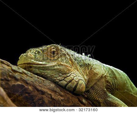 Green Iguana lizard, closeup with copy space.