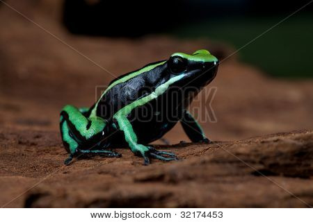 striped poison dart frog sitting on green leaf in Amazon rain forest Cute poisonous pet animal in terrarium